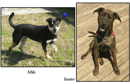 Milo and Scooter, S.A.F.E. dogs